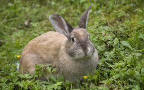 Picture grass, rabbit, muzzle