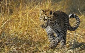 Picture grass, look, light, pose, leopard, cub