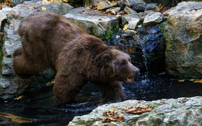 Picture autumn, look, face, leaves, water, pose, stream, stones, paws, bear, bathing, brown bear, pond, wildlife, …