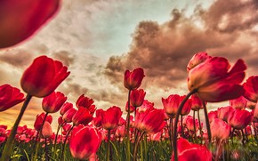Picture flowers, spring, tulips