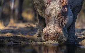 Picture face, nature, Hippo