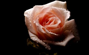 Picture drops, Rosa, rose, black background
