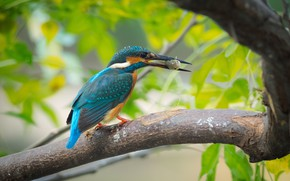 Picture tree, bird, branch, Kingfisher