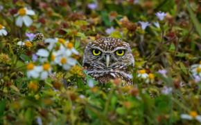 Picture summer, look, flowers, owl, bird, meadow, Peeps, owl