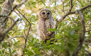 Picture greens, branches, owl, bird, foliage, owl