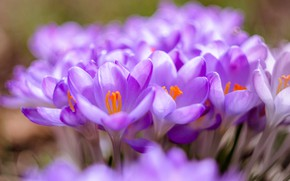 Picture flowers, glade, blur, spring, crocuses, lilac, bokeh