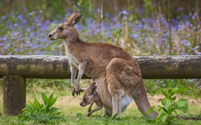 Wallpaper kangaroo, mom, bag, baby