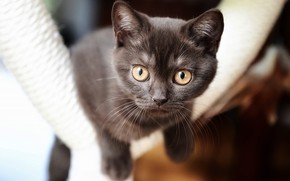 Picture cat, look, face, kitty, kitty, brown, British, bokeh, yellow eyes