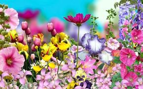 Picture Graphics, Flowers, Bratki, Mallow