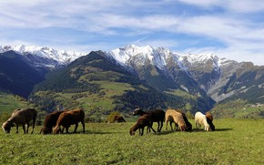 Picture forest, grass, mountains, sheep, Alps, pasture, meadow, sheep, the herd, lambs, flock, grazing