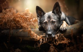 Picture portrait, dog, look, lies, pose, log, nature, face, German shepherd, leaves, bokeh, fern, forest, autumn, …