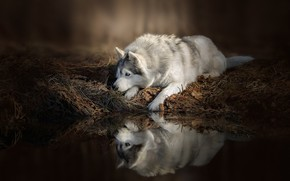 Picture water, reflection, Dog, lies