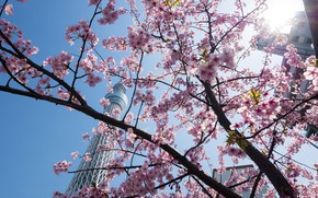 Picture nature, spring, Tokyo, flowering