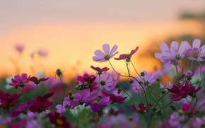 Picture field, the sky, flowers, horizon