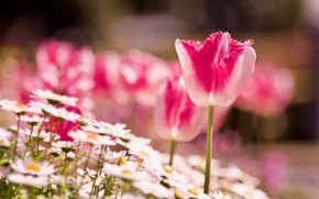 Picture flowers, Tulip, meadow