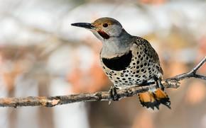 Picture background, bird, branch, woodpecker, bokeh, motley, woodpecker Golden, Golden woodpecker
