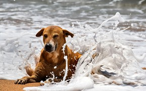 Picture Dog, Beach, Sea, Spray