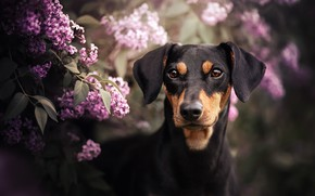Picture look, face, branches, dog, lilac