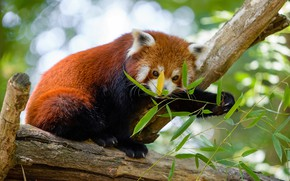 Picture face, pose, background, tree, food, paws, red Panda, sitting, lunch, bokeh, red Panda, bamboo leaves