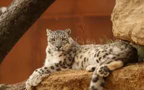 Picture lies, IRBIS, snow leopard