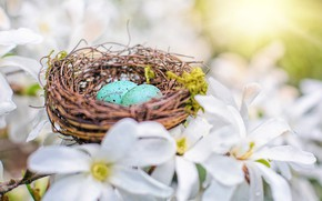 Picture nature, eggs, spring, Easter, dogwood, eggs of Robin