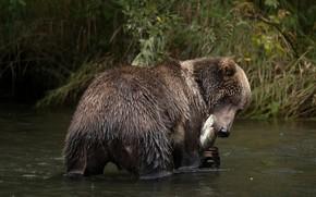 Wallpaper autumn, grass, look, face, wet, shore, fishing, food, fish, predator, bear, bathing, yummy, lunch, brown, ...