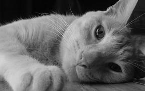 Picture cat, look, muzzle, lies, h\b