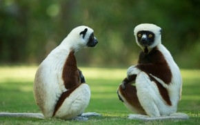 Picture glade, pair, lemurs, Duo, two, sitting