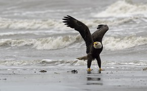 Picture bird, shore, Bald eagle, DUELL ©