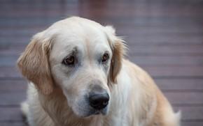 Picture dog, Labrador Retriever, Fleur Walton