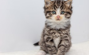 Picture cat, look, pose, kitty, grey, cute, white background, kitty, face, sitting, striped