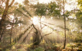Picture forest, rays, light, trees