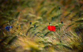 Picture field, flower, summer, flowers, red, stems, one, Mac, rye, Maki, spikelets, ears, cereals, bokeh, blurred …