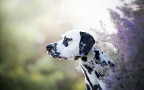 Picture look, face, light, flowers, nature, Bush, black and white, portrait, dog, garden, profile, Dalmatians, light …