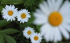 Picture blur, Daisy, white