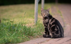 Picture road, cat, grass, cat, look, tile, the sidewalk, sitting, British, Scottish, tabby