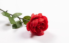 Picture flower, rose, white background