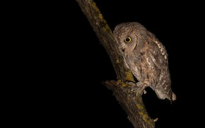 Picture look, owl, bird, branch, black background, owl, sychik