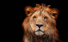 Picture eyes, look, face, close-up, portrait, Leo, black background, wild cat, lion, lion, young, teen