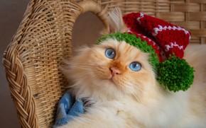 Picture cat, cat, look, face, portrait, chair, lies, image, blue eyes, red, green, cap, cap, handsome, …