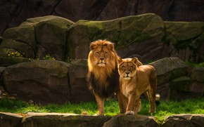Picture look, nature, stones, rocks, Leo, pair, wild cats, lions, lioness, two lions