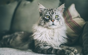 Picture sofa, look, with dignity, handsome, Maine Coon, face, fluffy, smoky, portrait, cat, lies, grey, background, …