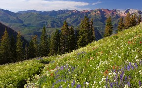 Picture forest, summer, flowers, mountains, ate, meadow