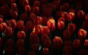 Picture flowers, the dark background, glade, spring, tulips, red, buds, a lot