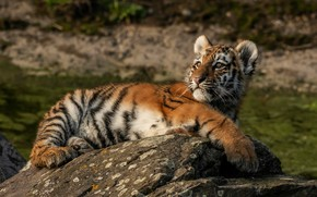 Picture look, nature, tiger, pose, stones, background, stay, baby, lies, wild cat, tiger, tiger