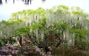 Picture flowers, tree, Wisteria