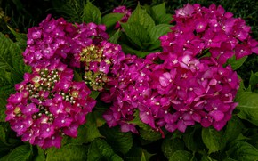 Picture Bush, flowering, hydrangea