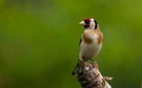 Picture bird, goldfinch, bird