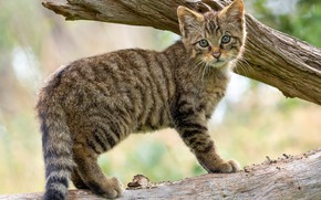 Picture cat, branches, kitty, tree, cub, wild, forest, wildcat, wild cat
