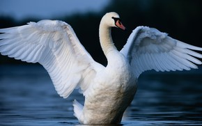 Picture white, bird, Swan, pond, wingspan